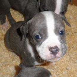My sons #Pitbull puppy #pictures. American Staffordshire Terriers aka Pit Bull puppies