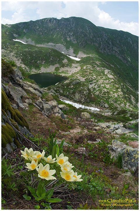 Pulsatilla-aplina-subsp-apiifolia-(1)