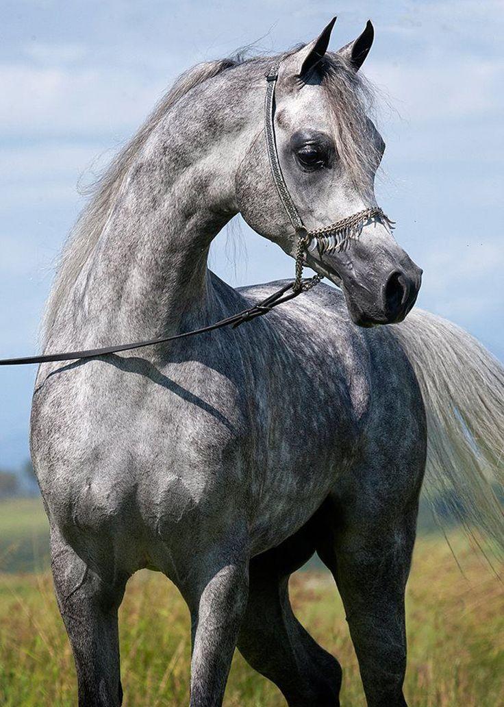 arabian horse