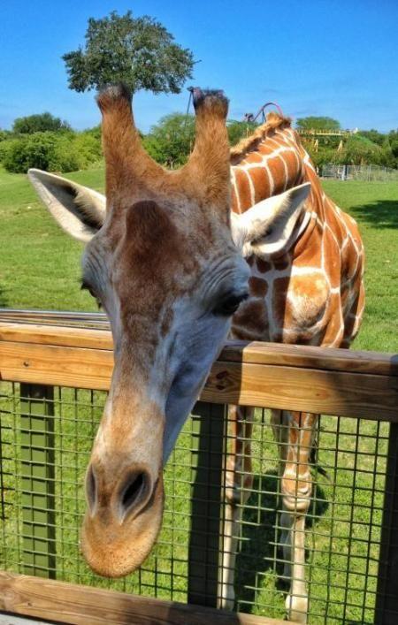 A blogger's view of Hand-Feeding Giraffes on a Serengeti Safari at Busch Gardens Tampa Bay