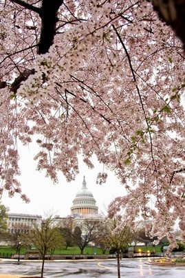 Love to go back for the Cherry Blossom Festival in Washington DC #dc #travel #spring
