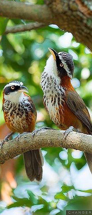 Taiwán Foto de Scimitar-babbler de Changer animales de aves hermosas