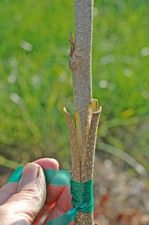 Northern Pecans: 3-flap grafting pecan trees