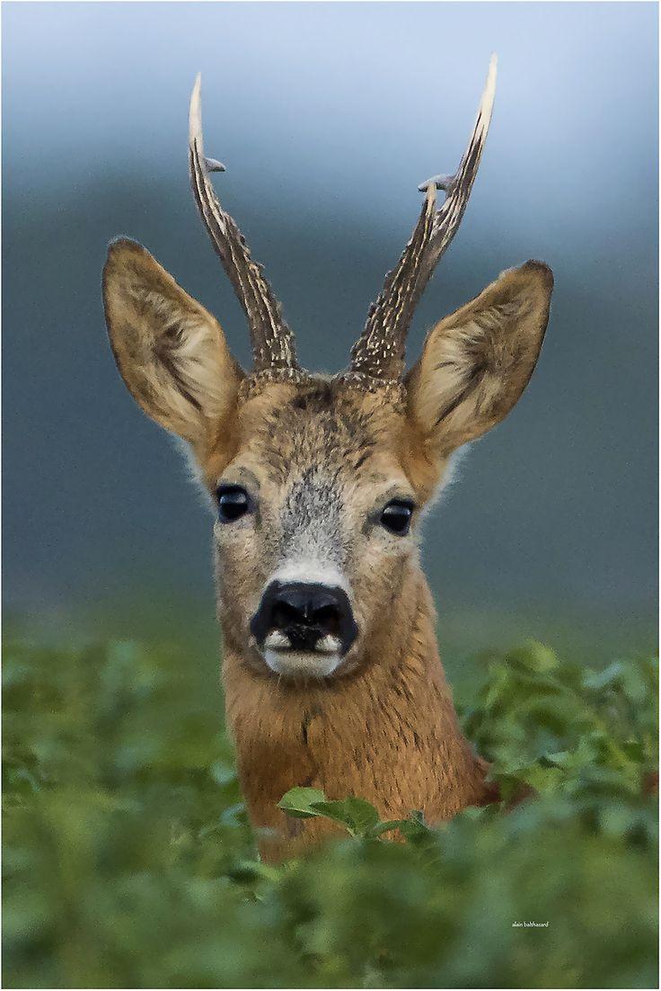 Mister Roe Deer by Alain Balthazard*