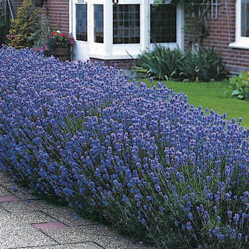 Munstead Lavandula angustifolia Lavender Plant - must be well-drained . . . soil would need to be amended.