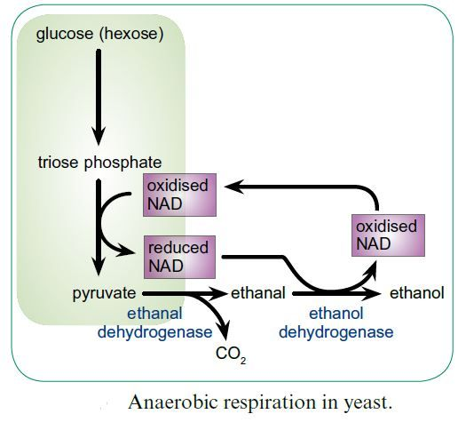 Anaerobic respiration is a process that follows glycolysis, when adequate amounts of oxygen are not present. Instead of entering the TCA cycle, NADH donates a pair of electrons to pyruvic acid, which reduces it into lactic acid and regenerates NAD+. This continuous regeneration of NAD+ does not last long (only 45-60 seconds), and causes a buildup of lactic acid which is toxic to the body. If oxygen is present, lactic acid can be converted back into pyruvic acid and enter aerobic respiration.