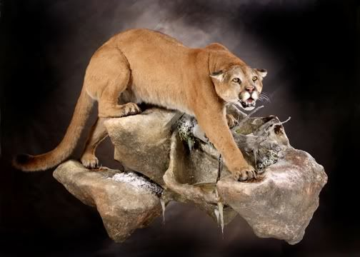 deer island cougar women Cougars in wisconsin the cougar (puma concolor), also known as puma, mountain lion, panther, catamount, american lion and mishibijn (ojibwa),is the largest wildcat in north america north of mexico.