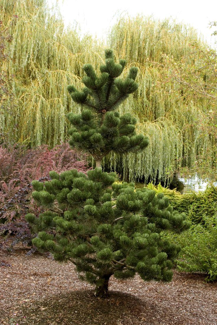 Oregon Green Austrian Pine - Monrovia - Oregon Green Austrian Pine