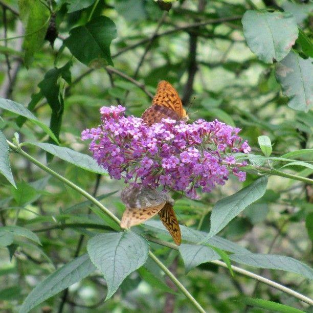 #farfalle in #fior #butterfly in #flowers  #papillons #fleurs