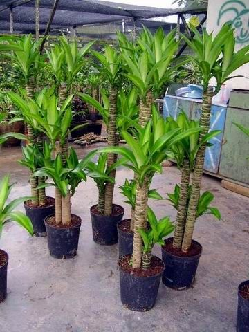 Indoor Plants Products, Buy Draceanea Fragrance Indoor Plants .