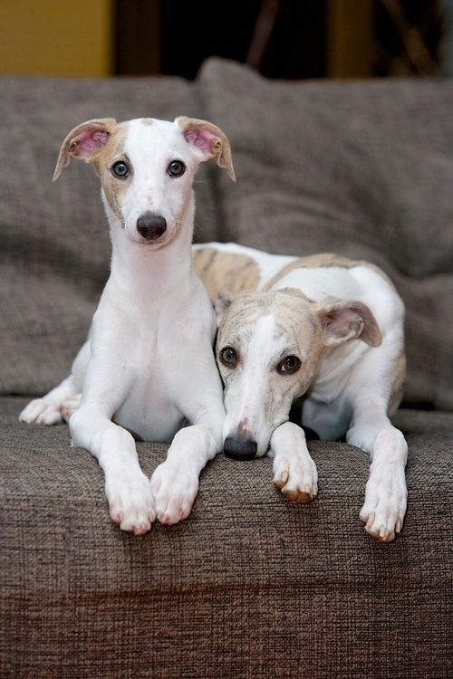 Italian Greyhounds... Or whippets? Cuties!