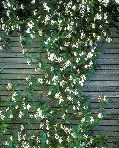 Star jasmine One of the most versatile plants, star jasmine (Trachelospermum jasminoides) can be grown as a climber or groundcover, and is smothered in white perfumed flowers in spring and summer. It's slow growing early on, but will flourish once established, spreading extensively.