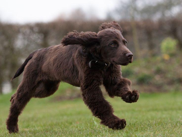 Field Spaniel Pup