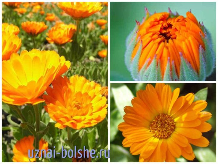 Какие однолетние цветы цветут все лето. Фото и описание