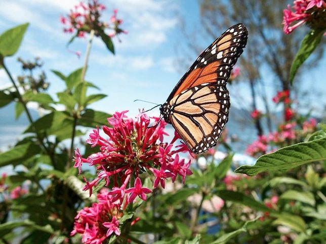 The Multi-Generation 2,500 Mile Monarch Butterfly Migration - Every autumn, the largest migration of insects begins. Monarch butterflies are the only insect to travel thousands of miles from the cooler north to the warmth of southern regions to spend the winter. But it takes four generations of monarch butterflies to make the trip and that the butterflies -- four generations apart -- use the exact same trees to winter each year.