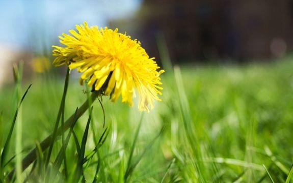 Dandelion Benefits: Wild Edibles that Heal