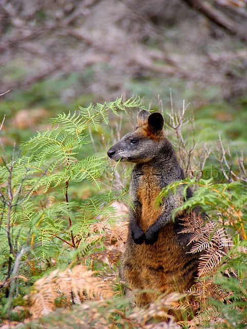 Swamp Wallaby, commonly known as a black wallaby, spotted by the photographer on walk in Wilson's Promontory National Park