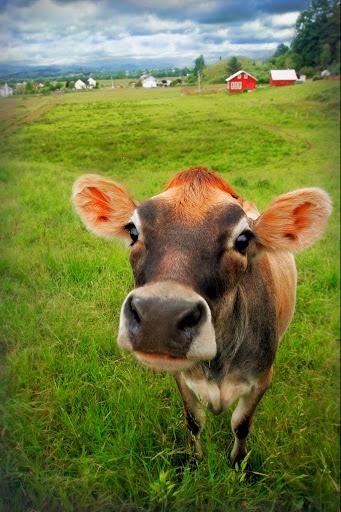 Best 25 Jersey Cows Ideas On Pinterest Dairy Cow Breeds