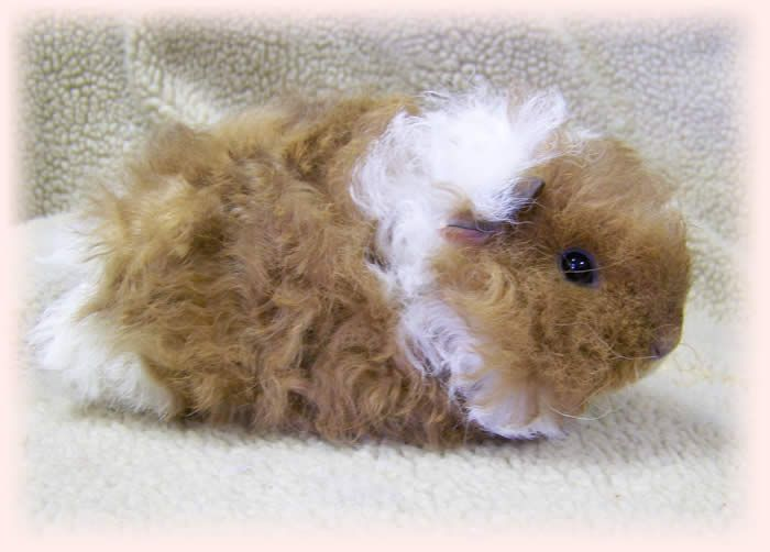 Best 25+ Guinea pig breeding ideas on Pinterest
