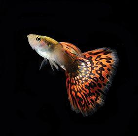 Vissen kalender / Fish calendar / Poissons Tropicaux calendrier / Fischen Kalender