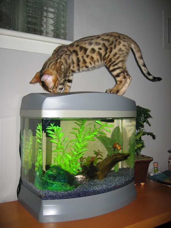 10 best images about cats and aquariums on pinterest for Cute fish tanks