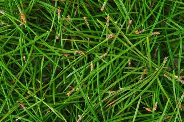 Жизнь после праздников: 7 ну очень полезных применений сосновым и ёлочным иголкам