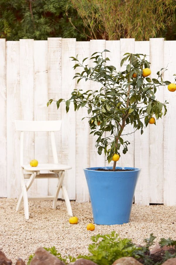 Yuzu a type of Japanese citrus grows great in a large container