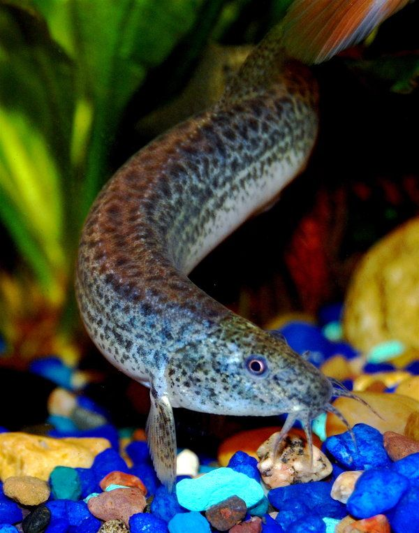 45 best images about freshwater loaches on pinterest for Freshwater fish online
