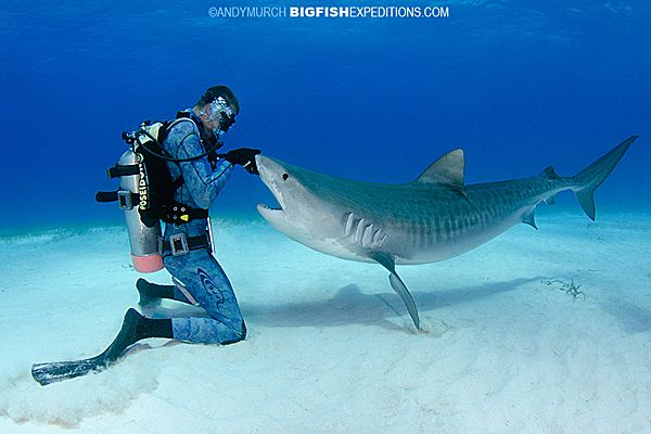During shark-diving trips to Tiger Beach, the sharks are accustomed to divers feeding them, sometimes by hand