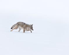 5 fundamentals of coyote hunting
