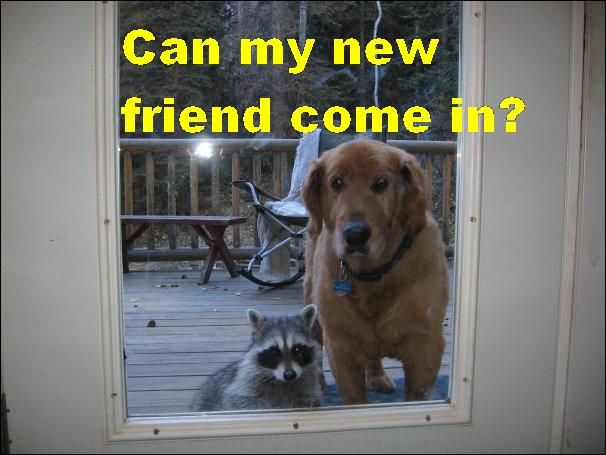 My new friendCat, Dogs, Pets, Raccoons, Funny, My Friends, Knock Knock, New Friends, Animal