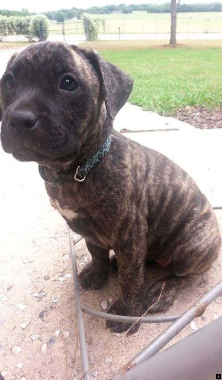 This Is Must See Web Content Click The Link For More Information Chocolate Lab Puppies Simply Click Here In 2020 Pitbull Mix Puppies Lab Mix Puppies Mastiff Puppies