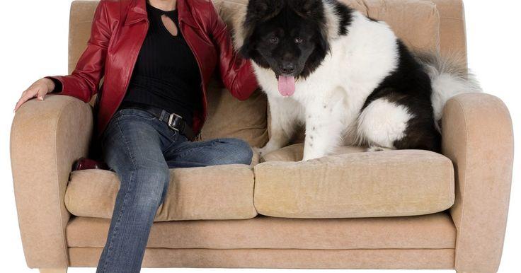 Como tirar urina de cachorro de um sofá de camurça. Camurça é um couro macio com uma superfície delicada. Apesar de camurça ser suave ao toque, sua durabilidade faz com que seja ideal para uso em artigos de decoração, como sofás, colchões e almofadas. Mesmo se o cão da família é um destruidor, acidentes podem e irão acontecer, principalmente se ele gostar de deitar em seu confortável sofá de ...