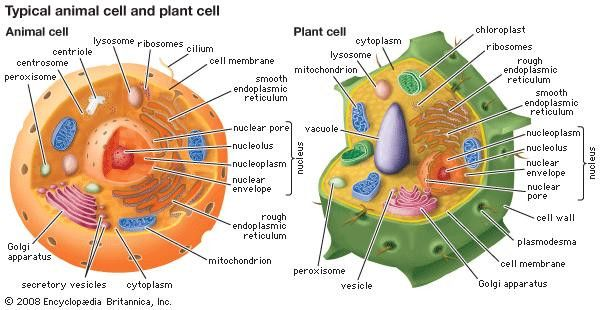 Animal And Plant Cell Diagram Inspirational Lysosome Biology In 2020 Animal Cell Plant And Animal Cells Plant Cell Diagram