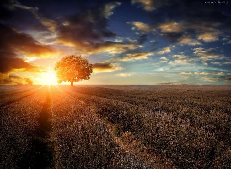 Zachód, Słońca, Chmury, Pole, Lawendowe, Drzewo