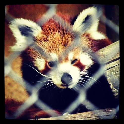 I don't know what this little guy's name is, but we've named him Rafael. Rafael the Red Panda :-)