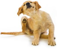 Vlooien Hond. Heeft jouw hond ook last van vlooien? Vlooien zijn vervelende parasieten waar je hond erg veel last van kan hebben.