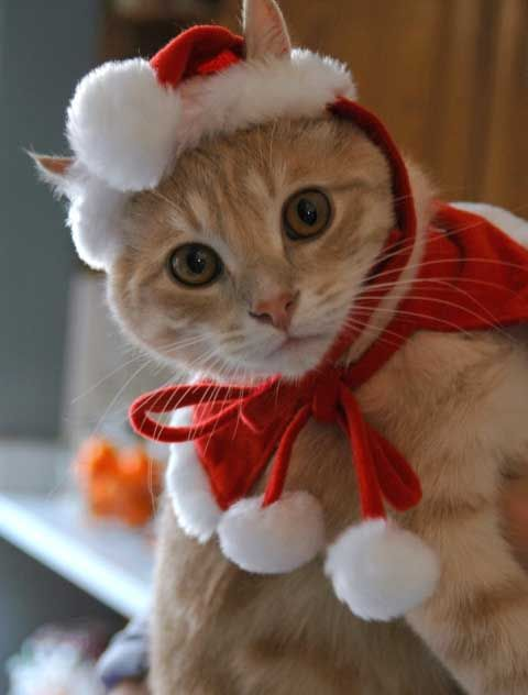 Kittens Christmas Outfits - 20 Christmas Costumes For Cats - Kittens Christmas Outfits €� 20 Christmas Costumes For Cats DIY