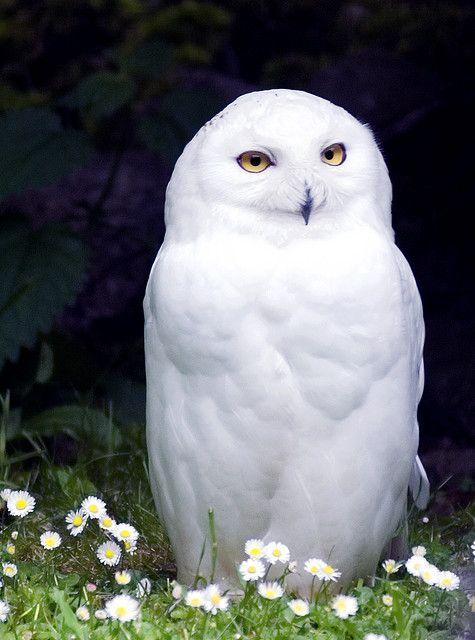 Snowy Owl in a Field of Tiny Daisies