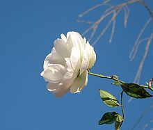The white rose of York, a prime symbol of Yorkshire identity    Relevant to ALL CREATURES GREAT AND SMALL by James Herriot. Teachers, you can make this book real for kids in straight-from-the-story ways! Hands-on, multisensory activities, academic handouts, and lots more -- all in one place!  Get the LitWits Kit at  https://litwits.com/product/all-creatures-great-and-small/   #readforfunlearnforlife