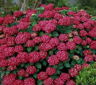 41 Best Garden Hydrangeas Images On Pinterest