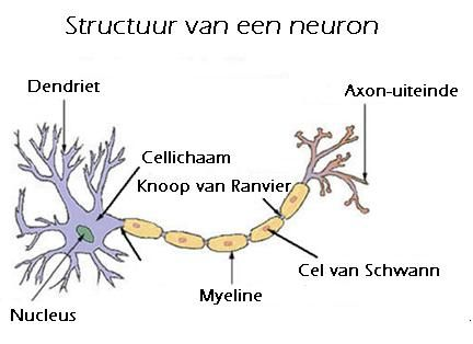 Neuron-nl - Dendriet (neurologie) - Wikipedia