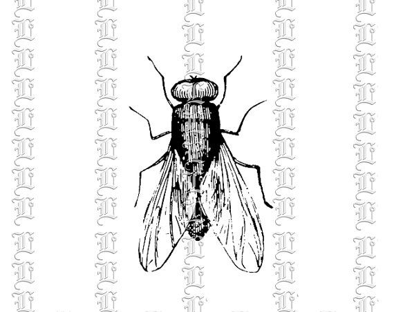 House Insect Fly Musca Domestica Vintage by luminariumgraphics, $2.20