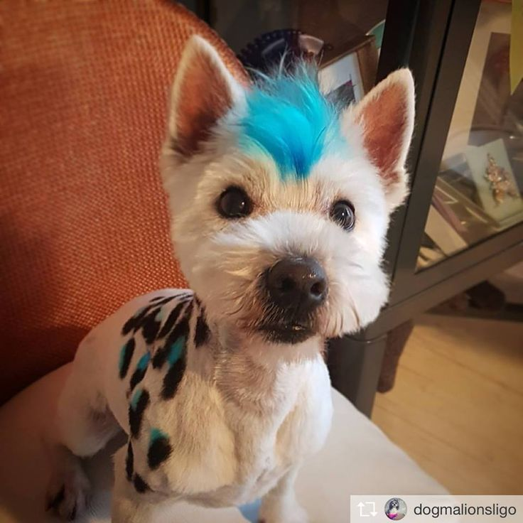 Love the spots design on the cute guy! He looks handsome and cool! The OPAWZ Permanent Dog Hair Dye was used. Really like how the innocent blue looks in the picture. It is so clear and pure. Awesome job by Amy D'Arcy (@dogmalionsligo).