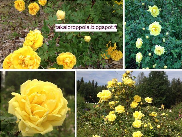 Takalo-Roppolan puutarha- ja mansikkatila: RUUSUT- my yellow roses