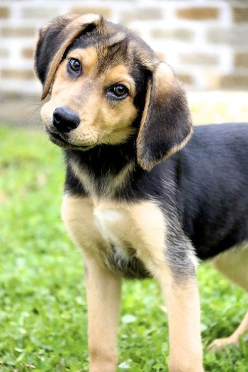 Beagle & Shepherd Mix • Baby • Female • Medium