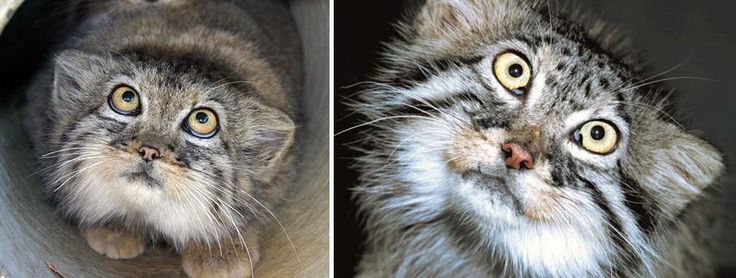 The adorable manul cat (or Pallas' cat)! Note the round pupils!
