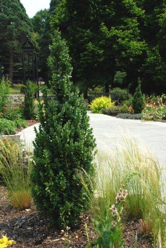 Dee Runk Boxwood Skinny Upright Plants Pinterest