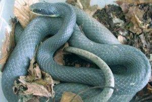 Blue Racer Snake Images