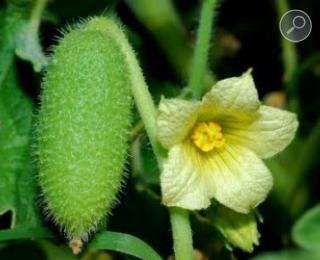 Πρικαγγουριά (Ecbalium elaterium)